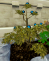 Gloomberry bush.png