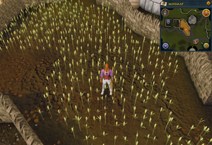 Emote clue Think Lumbridge wheat field.png